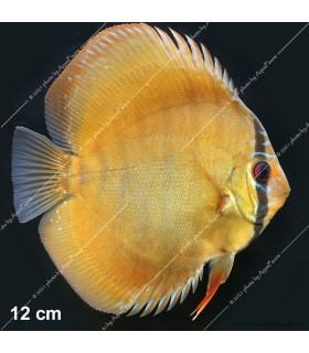 Stendker diszkoszhal - Symphysodon - Alenquer Red - 6,5 cm