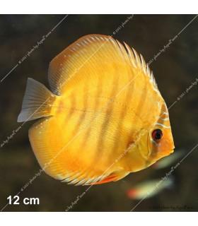 Stendker diszkoszhal - Symphysodon - Alenquer Red - 8 cm