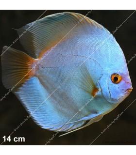 Stendker diszkoszhal - Symphysodon - Blue Diamond - 6,5 cm