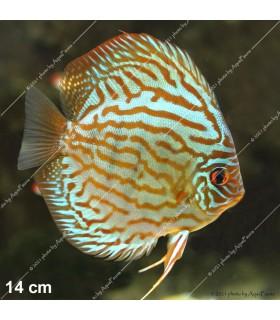 Stendker diszkoszhal - Symphysodon - Brilliant türkiz - 6,5 cm