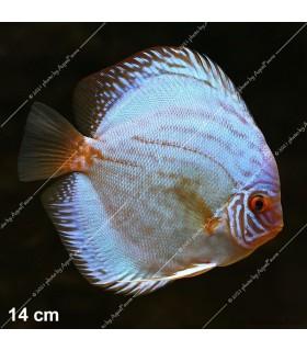 Stendker diszkoszhal - Symphysodon - Kobalt - 10 cm