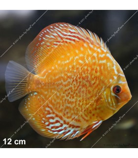 Stendker diszkoszhal - Symphysodon - Tefé - 8 cm