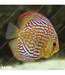 Stendker diszkoszhal - Symphysodon - Red Scribbelt - 10 cm