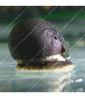 Neritina pulligera - Sisakcsiga