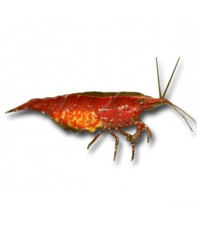 Neocaridina davidi (heteropoda) var. Red cherry - Red cherry garnéla