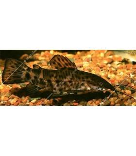 Megalechis thoracata - Torokátum harcsa