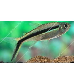 Thayeria boehlkei - Ferdénúszó pontylazac