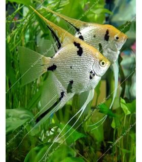 Pterophyllum scalare sp. - Gyémánt vitorláshal