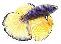 Betta splendens